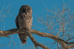 Great Gray Owl. Perched in a tree royalty free stock photography