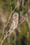 Great Gray Owl Perches in Tree Stock Image