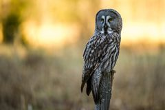 The Great The Great Gray Owl perching in the morning sun. The Great Gray Owl Strix nebulosa perching with the morning sun lighting the background royalty free stock photos