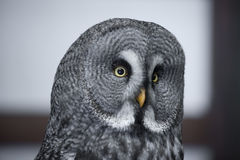 Great gray owl portrait. Close-up of a great gray owl face Royalty Free Stock Photo