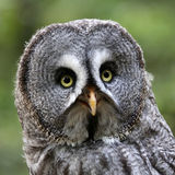 Great gray owl Royalty Free Stock Photography
