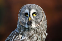 Great gray owl portrait Stock Image