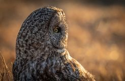 Great Gray Owl in Canada stock images