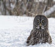 Great gray owl Royalty Free Stock Photos