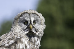 Great Gray owl portrait image with copy space. Great gray grey owl Strix nebulosa portrait image with copy space. Great bird of prey poster image royalty free stock photos