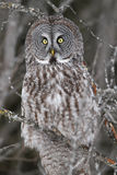 Great Gray Owl Profile Stock Photos