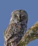 Great Gray Owl Stock Image