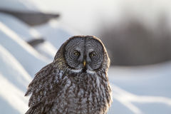 Great Gray. A Great Gray Owl sits perched waiting for its next meal Stock Photo