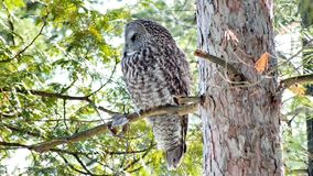 Great Gray Owl - Stock image royalty free stock photography