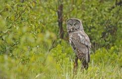 Great Gray Owl (Strix nebulosa) Stock Images