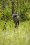 Great Gray Owl (Strix nebulosa) royalty free stock photos