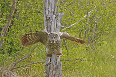 Great Gray Owl (Strix nebulosa). Sitting on a tree royalty free stock photos
