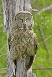 Great Gray Owl (Strix nebulosa) Royalty Free Stock Photo
