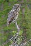 Great Gray Owl (Strix nebulosa) Stock Photography