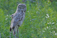 Great Gray Owl (Strix nebulosa) Royalty Free Stock Image