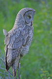 Great Gray Owl (Strix nebulosa) stock image