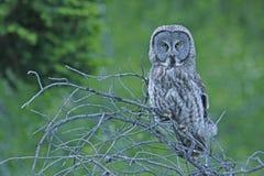 Great Gray Owl (Strix nebulosa) Stock Photo