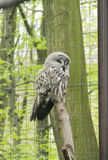 Great gray owl. Strix nebulosa in the aviary in ZOO royalty free stock photography