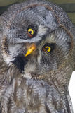 Great gray owl (Strix nebulosa) Stock Image