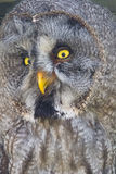 Great gray owl (Strix nebulosa) Stock Photo