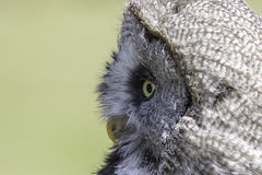 Great gray owl Strix nebulosa face with copy space. Close up of the face of a great gray grey owl Strix nebulosa in profile. The stereotypical wise old owl in royalty free stock photo
