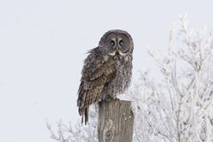 Great Gray Owl, Strix nebulosa, in a frosty landscape Stock Photos