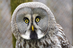 Great gray owl (Strix nebulosa) Stock Images