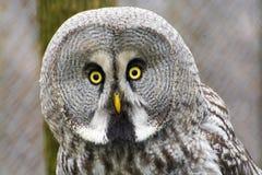 Great gray owl (Strix nebulosa). Great grey owl or great gray owl (Strix nebulosa) portrait stock images