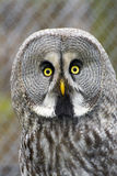 Great gray owl (Strix nebulosa) Royalty Free Stock Photo