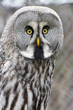 Great gray owl (Strix nebulosa) Royalty Free Stock Image