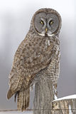 Great Gray Owl, Strix nebulosa, looking at viewer Stock Image