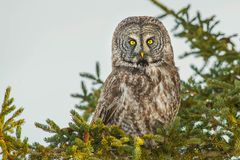 Great Gray Owl - Strix nebulosa. A Great Gray Owl perched in a Spruce Tree. Whitby, Ontario, Canada royalty free stock photos