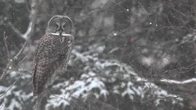 A Great Gray Owl, Strix nebulosa in the snow