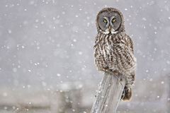 Great Gray Owl, Strix nebulosa, staring at viewer Royalty Free Stock Photo