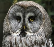 Great Gray owl, Strix nebulosa. Strix nebulosa, the Great Gray Owl, lives in the colder parts in the north of europe and america stock photography
