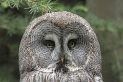 Great Gray owl, Strix nebulosa. Strix nebulosa, the Great Gray Owl, lives in the colder parts in the north of europe and america royalty free stock image