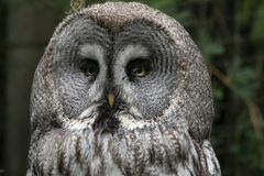 Great Gray owl, Strix nebulosa. Strix nebulosa, the Great Gray Owl, lives in the colder parts in the north of europe and america stock photos