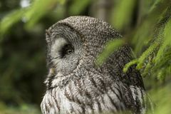 Great Gray owl, Strix nebulosa. Strix nebulosa, the Great Gray Owl, lives in the colder parts in the north of europe and america royalty free stock photography