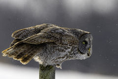 Great Gray Owl, Strix nebulosa, watching for prey. A Great Gray Owl, Strix nebulosa, watching for prey stock images