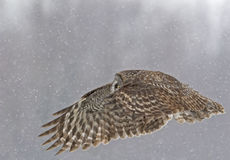 Great Gray Owl, Strix nebulosa, wings extended in flight Royalty Free Stock Photo