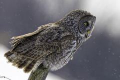 Great Gray Owl, Strix nebulosa, in winter Royalty Free Stock Images