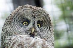 Great gray owl (Strix nebulosa). At zoo royalty free stock image