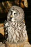 Great Gray Owl Stock Photography