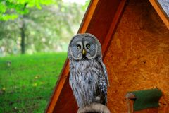 Great gray owl under shelter looking directly at camera royalty free stock photography