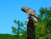 Great Gray Owl Wisconsin Wildlife. Great Gray Owl Strix nebulosa sitting on a stop sign in northern Wisconsin stock photos