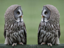 Great Gray owls Royalty Free Stock Photos