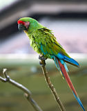 Great Green (Buffon's) macaw in nature surrounding Stock Photos