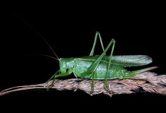 Great Green Bush-Cricket Stock Photos