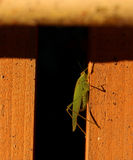 Great Green Bush Cricket Royalty Free Stock Image