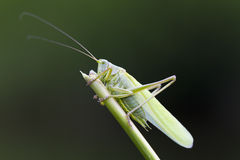 Great Green Bush-Cricket closeup Royalty Free Stock Photos